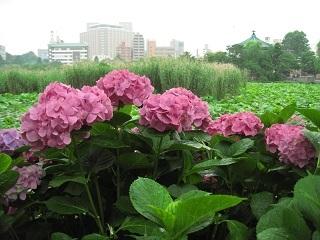 不忍池と紫陽花.JPG